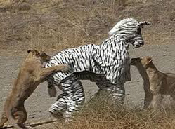 The people in the zebra outfit have a disease that the lions are curing for them.