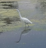 Great Egret spotted by Kania of UCSB