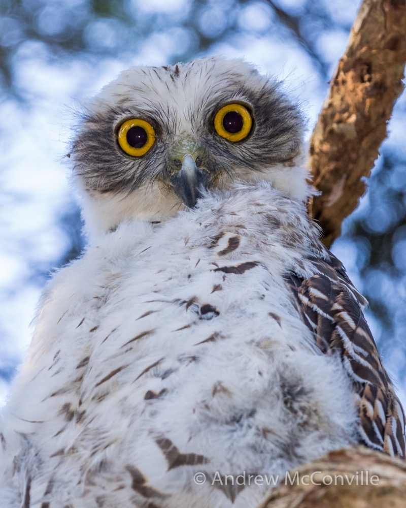 Powerful Owl (Ninox strenua). Image credit: QG player - Andrew Mc.