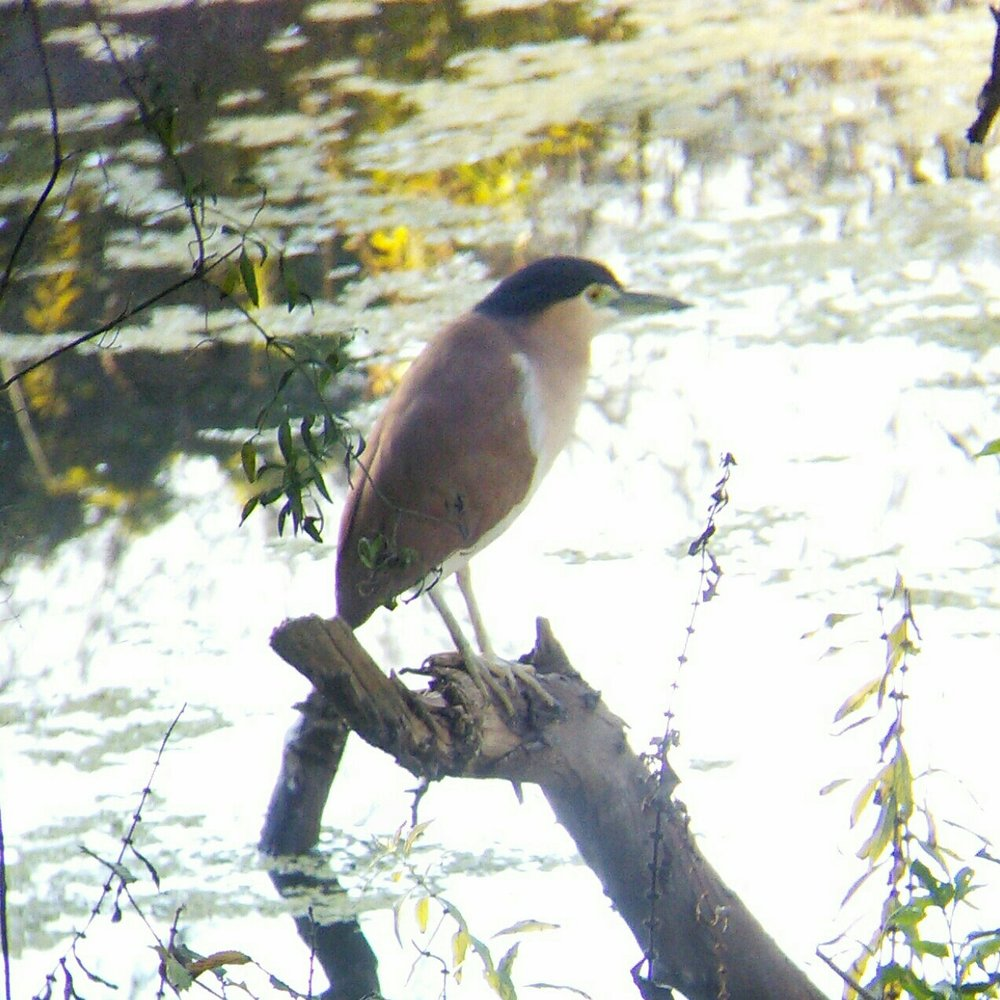 Nankeen Night Heron (Nycticorax caledonicus). Image credit: QG player - Austin.