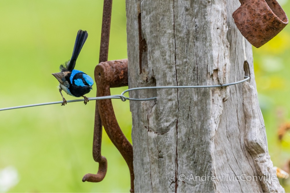 Superb Fairy-wren (Malurus cyaneus). Image credit: QG player - Andrew Mc.