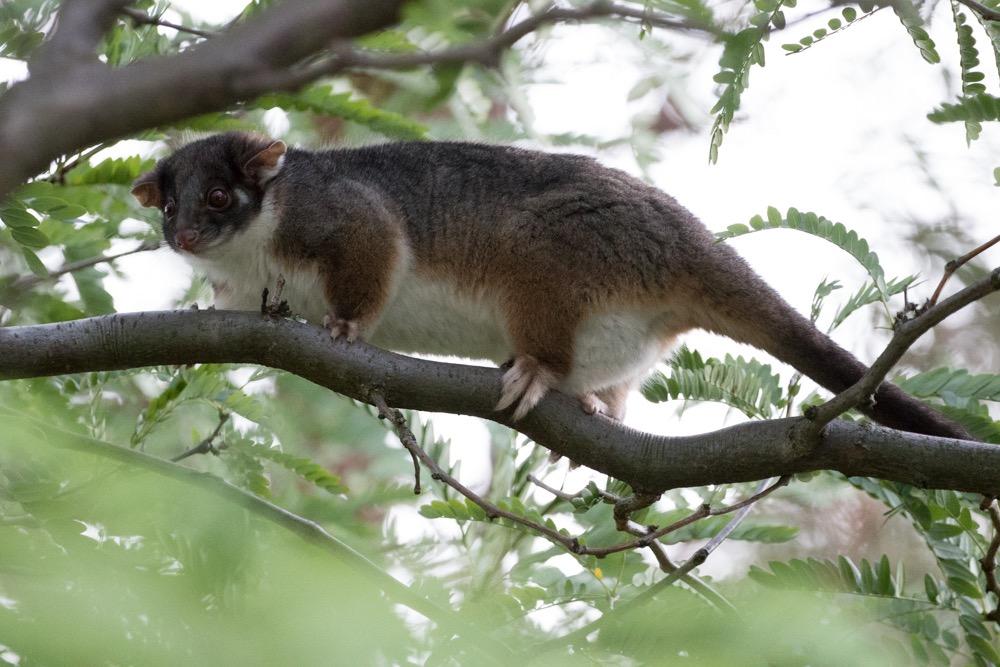 4. Ring Tailed Possum (Pseudocheirus peregrinus)