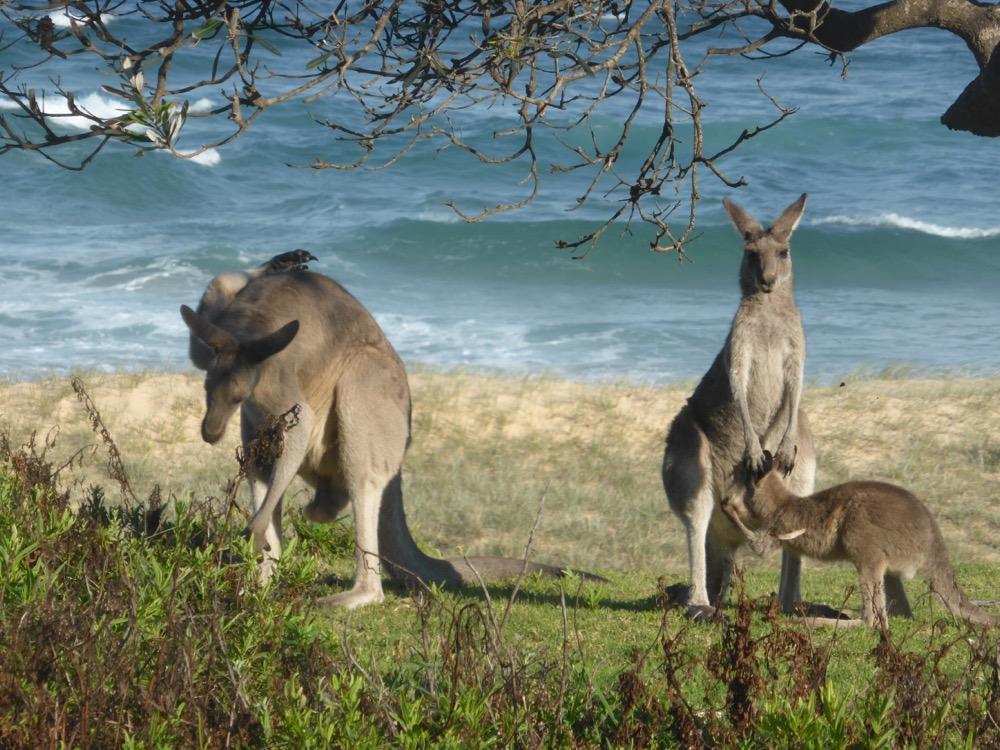 2. Eastern Grey Kangaroo (Macropus giganteus)