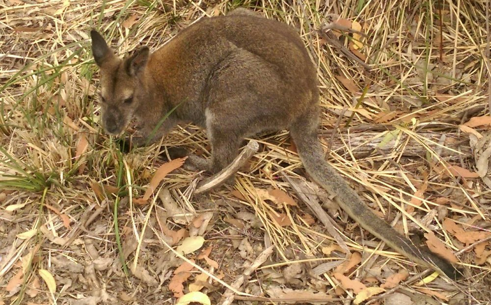 9. Red-necked Wallaby (Macropus rufogriseus)