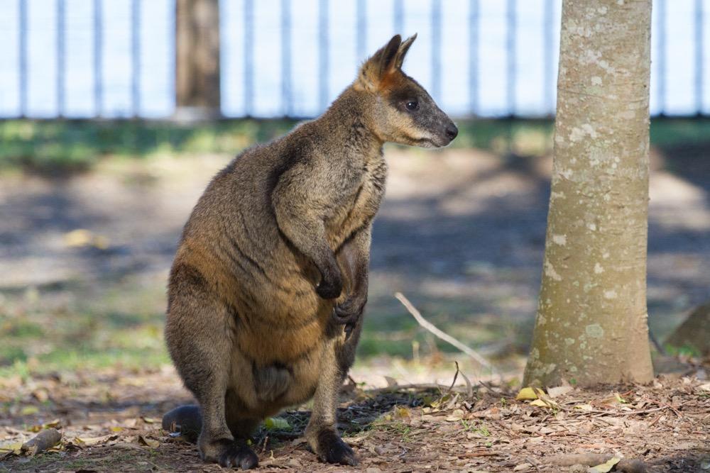 8. Swamp Wallaby (Wallabia bicolor)