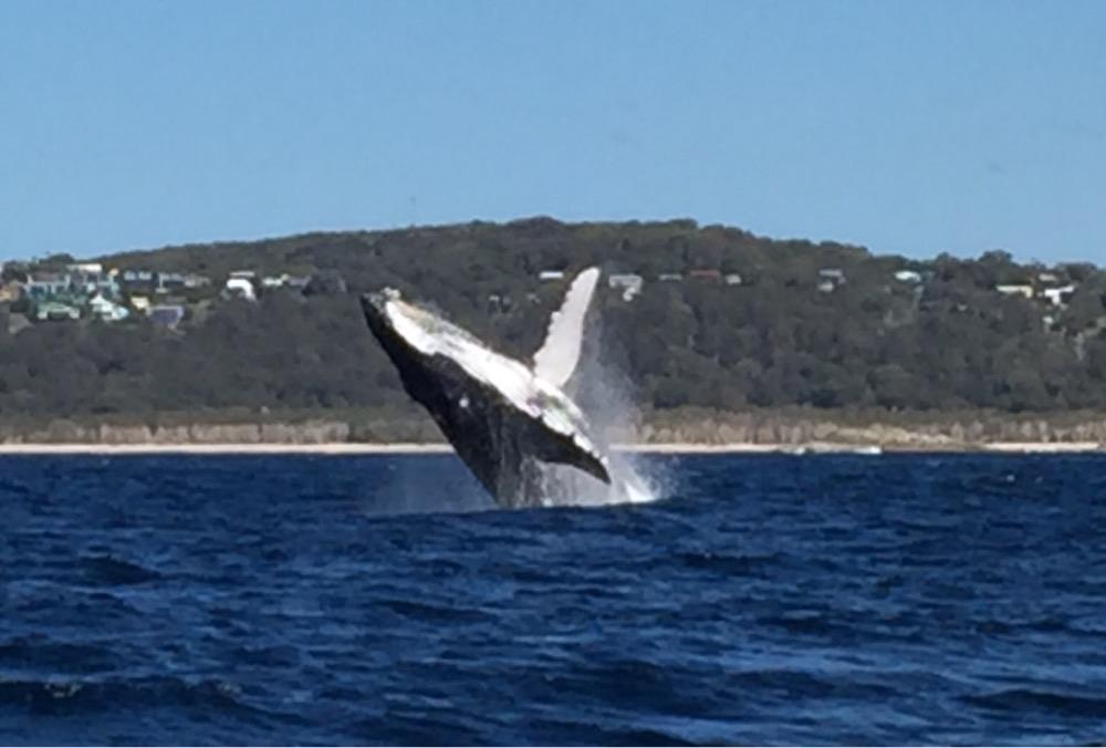 10. Humpback Whale (Megaptera novaeangliae)