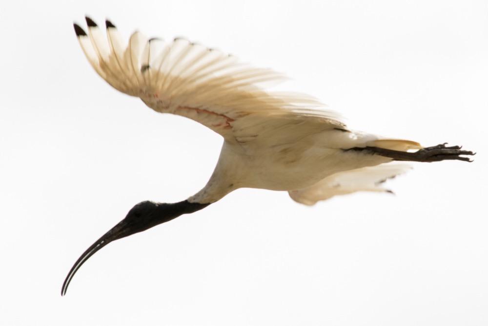 3. Australian White Ibis (Threskiornis moluccus)