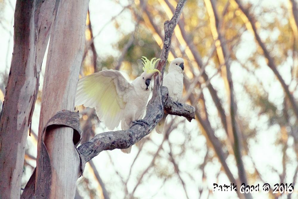 2. Sulphur Crested Cockatoo (Cacatua galerita)
