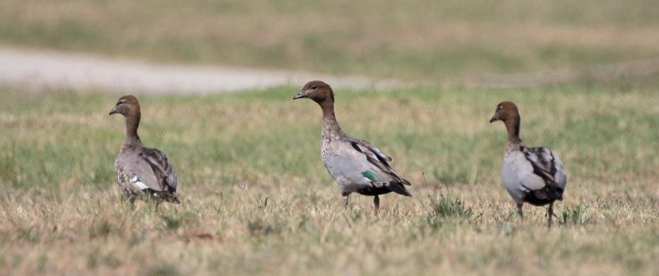 5. Australian Wood Duck (Chenonetta jubata)