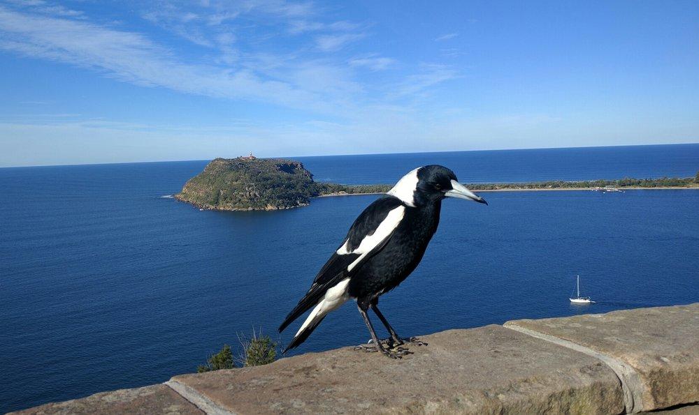 1. Australian Magpie (Cracticus tibicen)