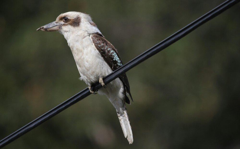 9. Laughing Kookaburra (Dacelo novaeguineae)