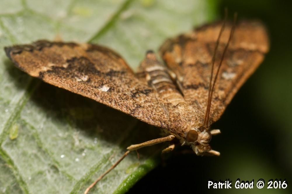 9. Grass moths (family Crambidae)