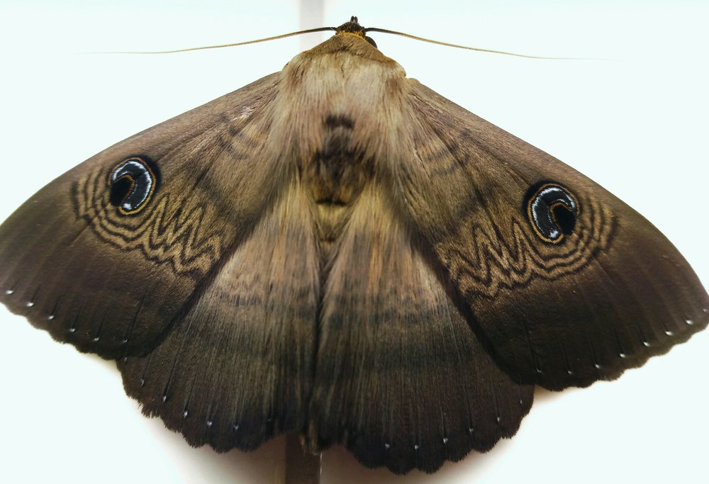 2. Owlet moths (family Noctuidae)