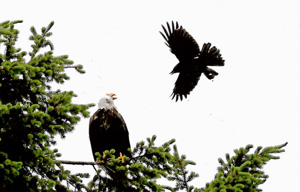 A bald eagle standing its ground on Vancouver Island in 2011. (Image: David Haynes)