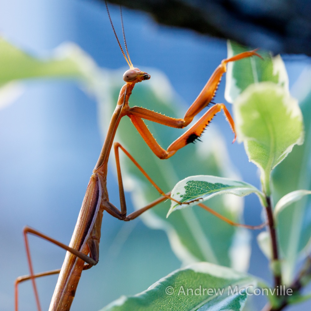 Image: 'False garden mantis (Pseudomantis albofimbriata) by QuestaGamer Andrew Mc,  CC BY-NC .