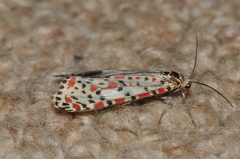 Image:    Utetheisa pulchelloides   , by QuestaGamer  Liz MacRaild , CC BY-NC .