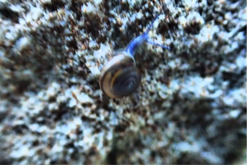 Score: 373.  Image:  Bark Snail  (  Zonitoides arboreus),  by QuestaGamer Grisper ,  CC BY-NC
