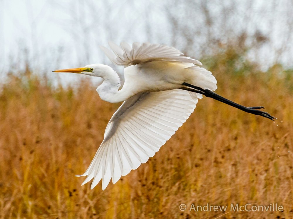 Image:  Great egret  (Ardea alba) by Andrew Mc,    CC BY-NC