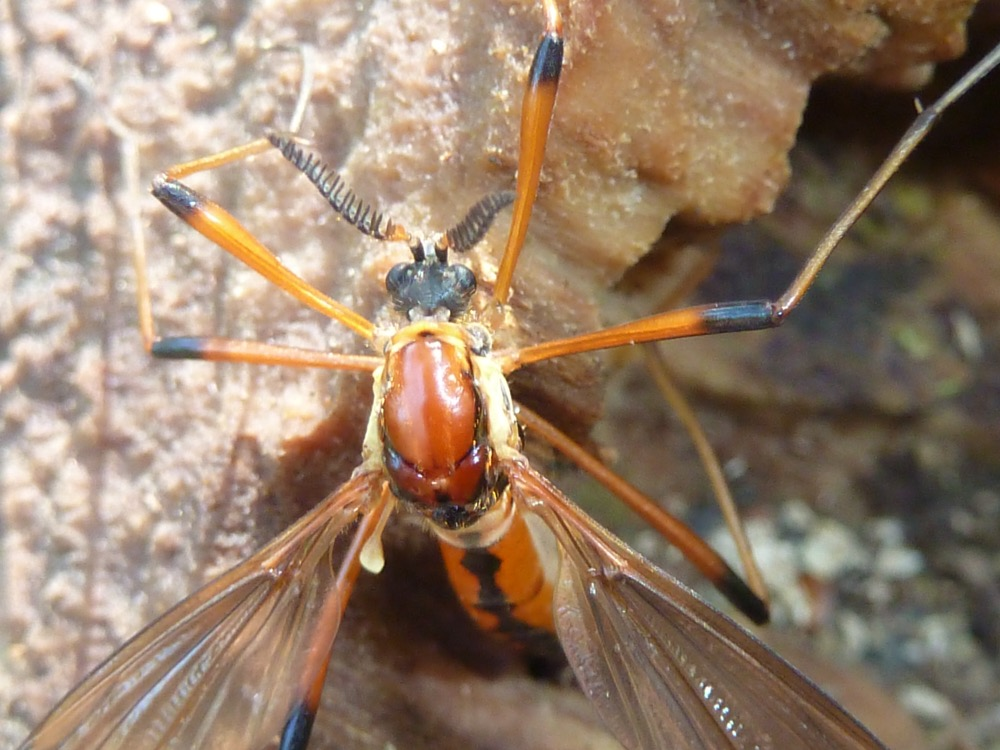 Score 597.  Image:  A rarely reported Cranefly ( Phoroctenia vittata, or Ctenophora vittata ) , by QuestaGamer Scott Gilmore ,   CC BY-NC