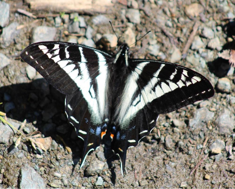 Image:  Pale Swallowtail  (Papilio eurymedon) by Scott Gilmore,  CC BY-NC