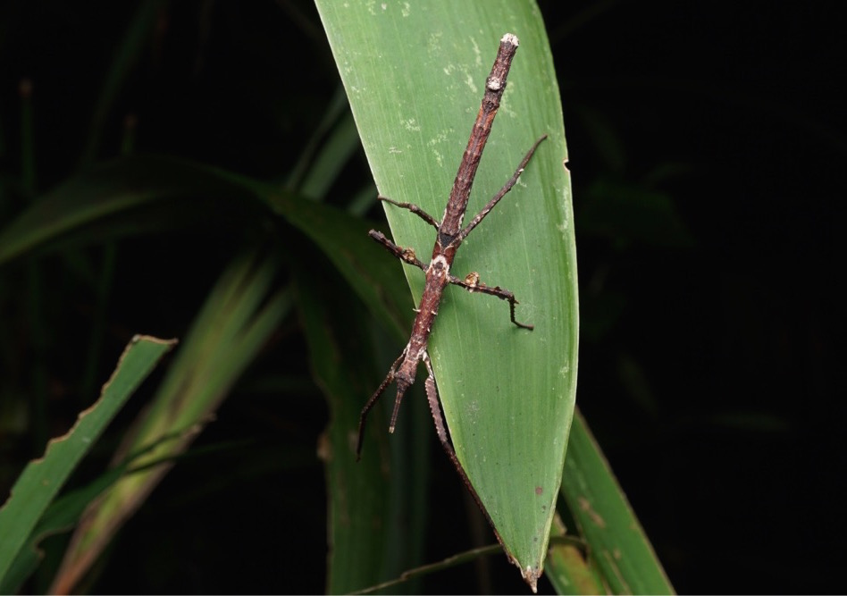 Score: 964.  Image:  Stick Insect  (Onchestus gorgus), by QuestaGamer Ben Revell, identified by Dr. Paul Brock of the Natural History Museum, London. First photographic record on major biodiversity databases.    CC BY-NC