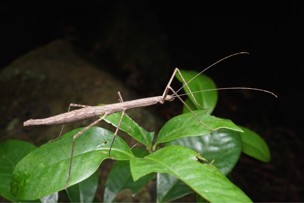 Score: 910.  Image:  Stick Insect  (Candovia granulosa), by QuestaGamer Ben Revell, identified by Dr. Paul Brock of the Natural History Museum, London. Second photographic record on major biodiversity databases.  CC BY-NC