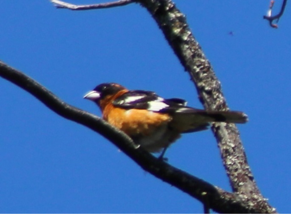 Image: B lack headed grosbeak (Pheucticus melanocephalus ), by QuestaGamer  Scott Gilmore ,  CC BY-NC .