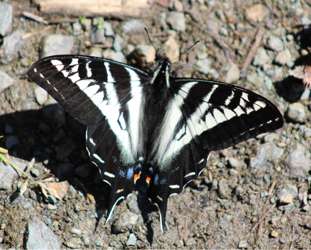 Image: Pale swallowtail (Papilio eurymedon), by QuestaGamer Scott Gilmore,  CC BY-NC .