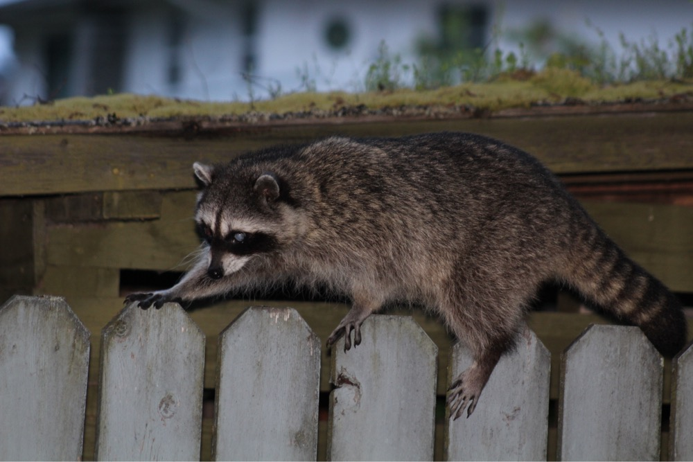 Image: Northern raccoon (Procyon lotor), by QuestaGamer Scott Gilmore,  CC BY-NC .
