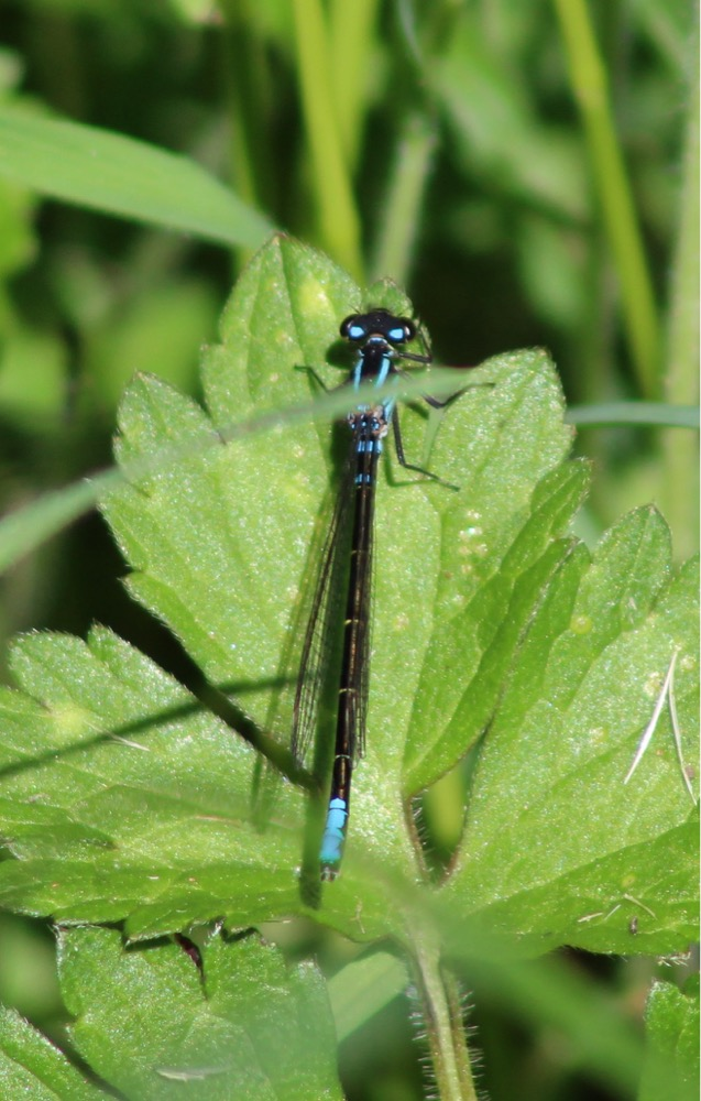 Image: Pacific forktail (Ischnura cervul), by QuestaGamer Scott Gilmore,  CC BY-NC .
