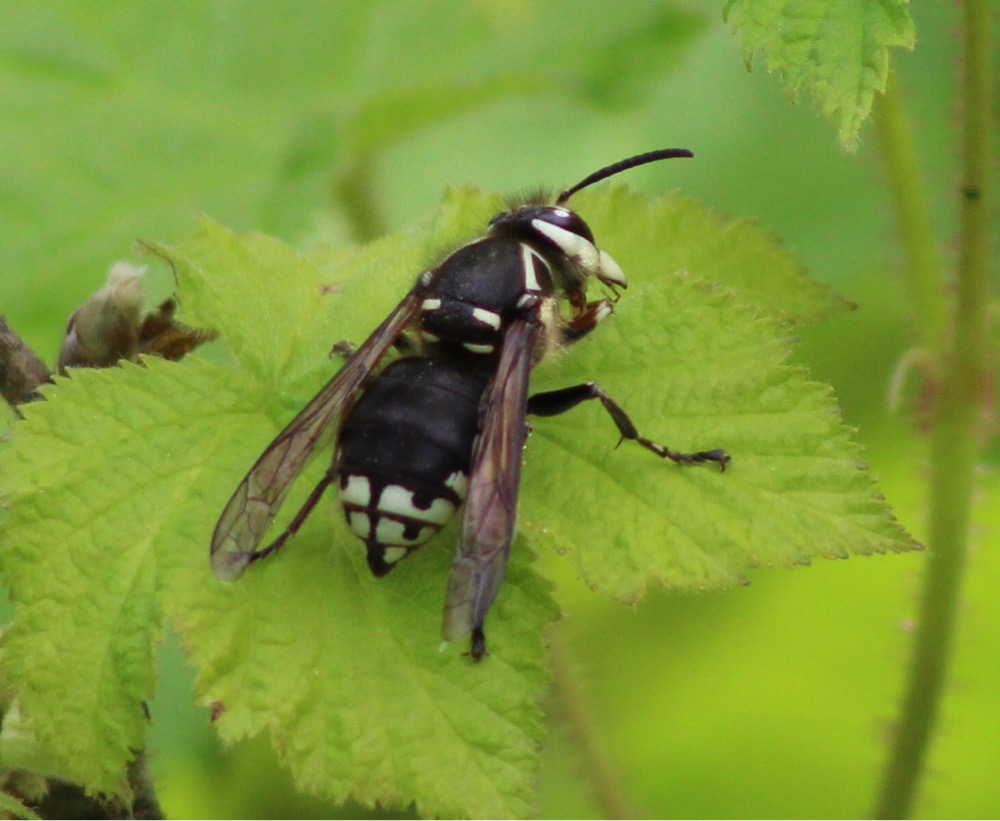 Image: Bald-faced hornet (Dolichovespula maculata)  , by QuestaGamer  Scott Gilmore ,  CC BY-NC .