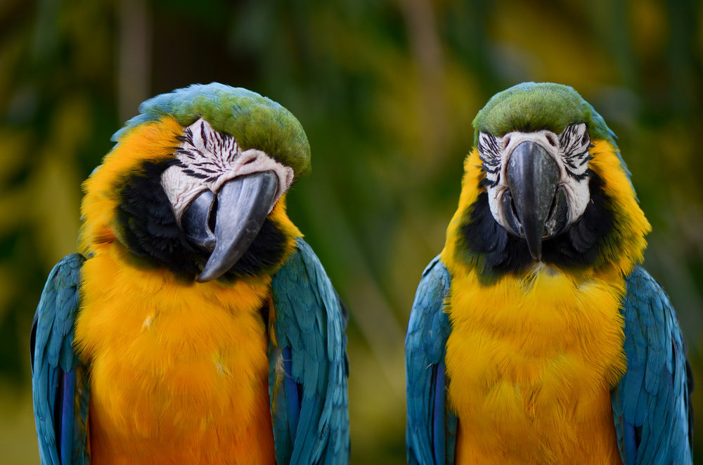 Image:   Blue-and-yellow macaws  ( Ara ararauna ) , by   Holley and Chris Melton  ,  CC BY-NC .