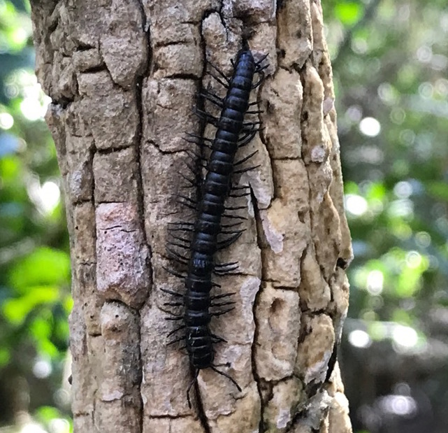 Millipede (Paradoxosomatidae) by Brielle, CC BY-NC
