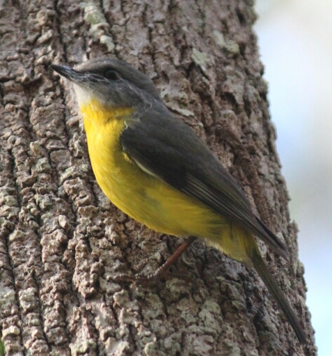 Eastern Yellow Robin by SilverB, CC BY-NC