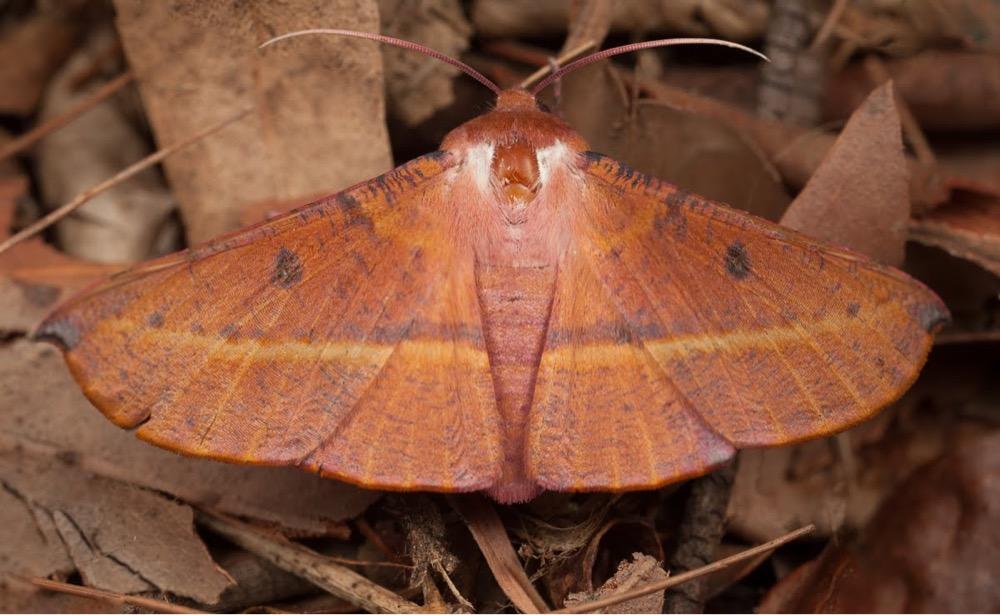 Image: Oenochroma vinaria by Mushroom God, CC BY-NC