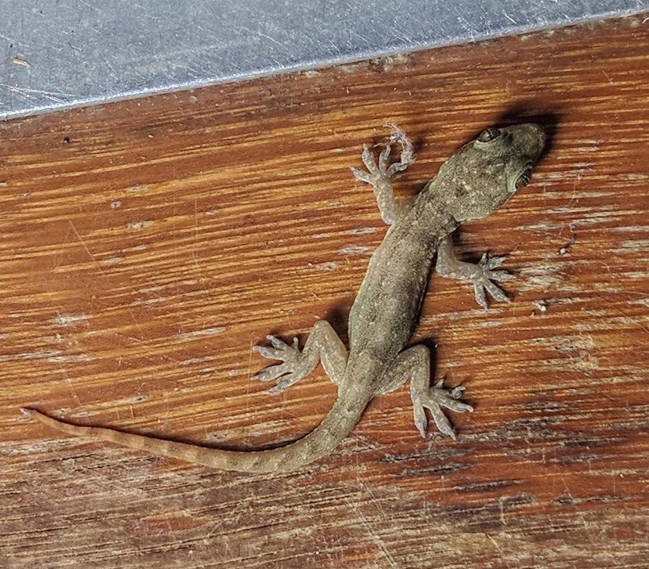 Hemidactylus garnotii ©Jonathan Pugh