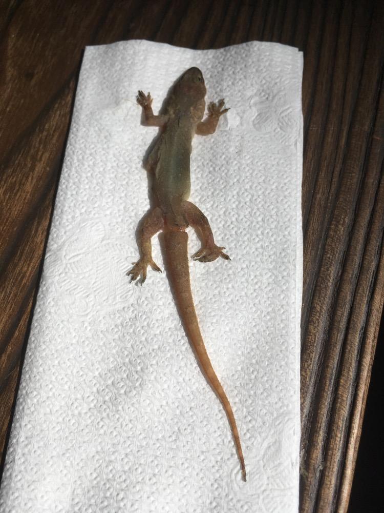 Hemidactylus garnotii ©Charliev (found dead)