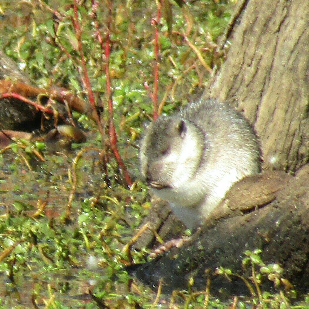 Image: Rakali  (Hydromys chrysogaster)  by amos  CC BY-NC