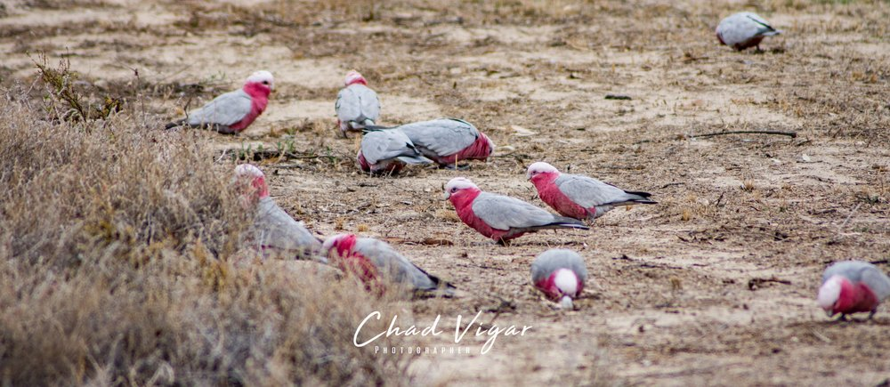 Image:  Galah  (  Eolophus roseicapillus)   by Mrmarbles  CC BY-NC