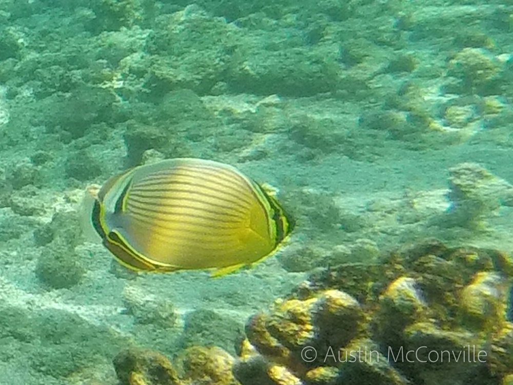 Image:  Oval Butterflyfish  (Chaetodon lunulatus)   by Austin    CC BY-NC