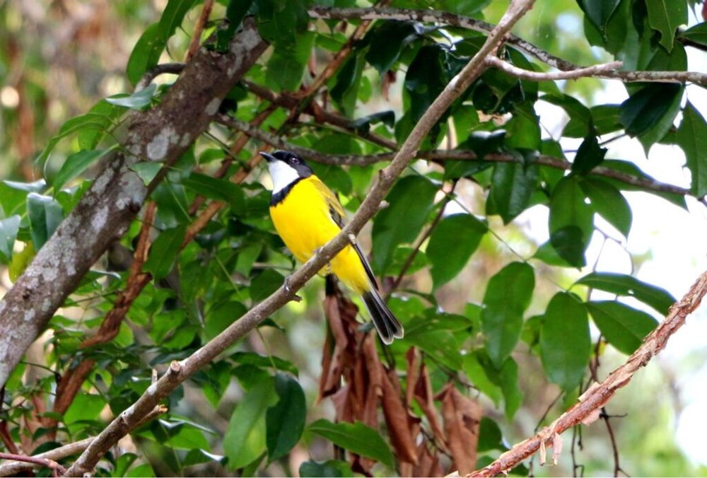 Image:  Golden Whistler ( Pachycephala pectoralis )  by   Princess Ruby    CC BY-NC