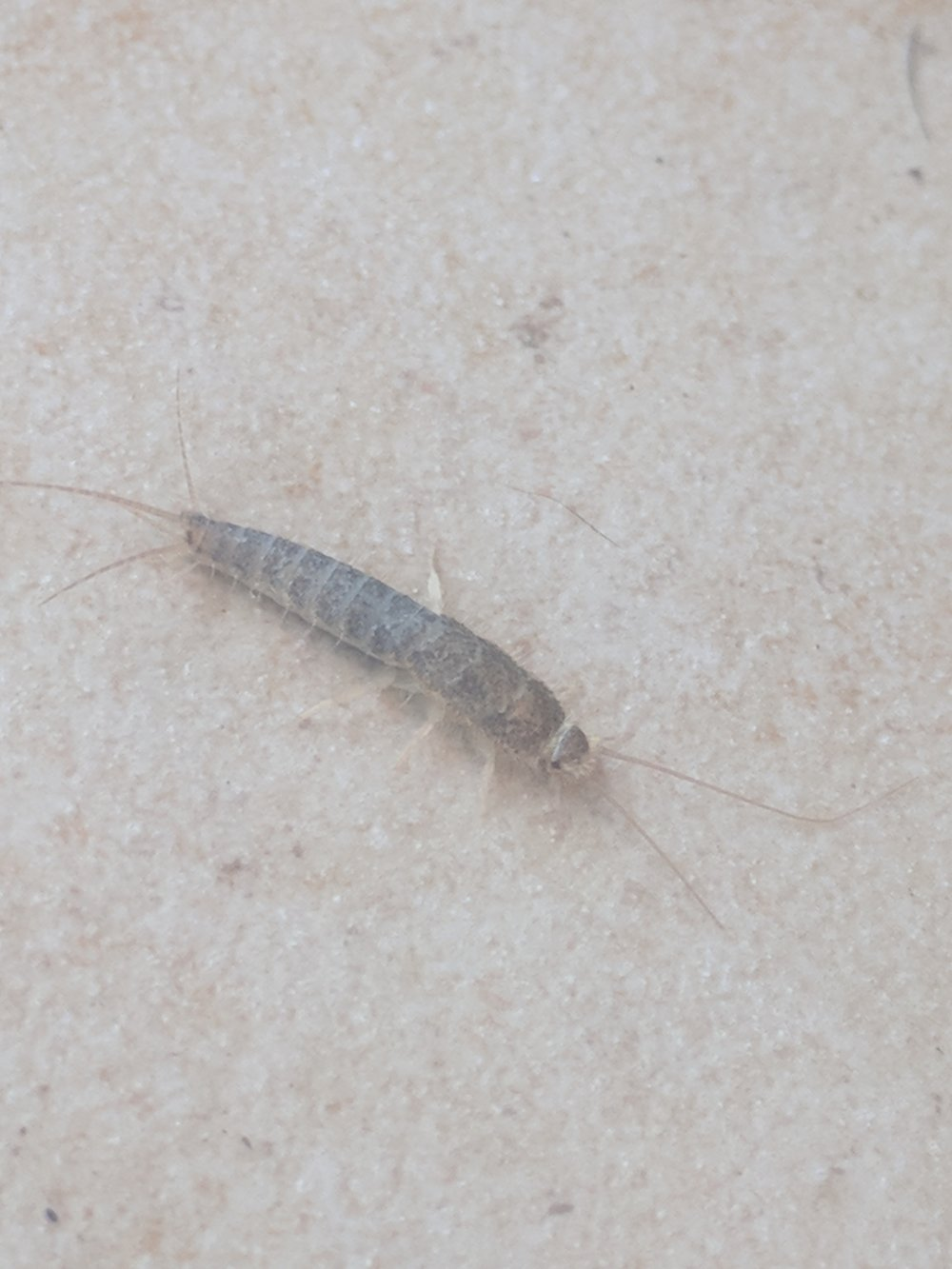 Image:  Grey Silverfish    (Ctenolepisma longicaudata)   by   superherosunite    CC BY-NC