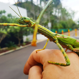 thumb_Goliath_Stick_insect.jpg