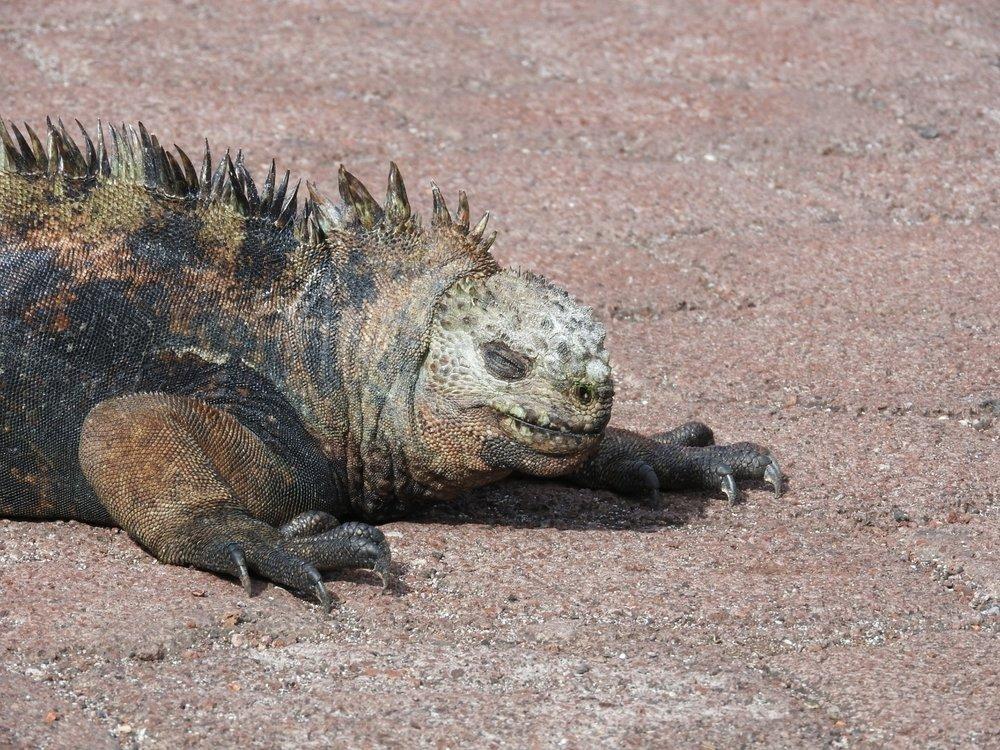 Image:   Marine Iguana  (Amblyrhynchus cristatus)  by Chookman  CC BY-NC