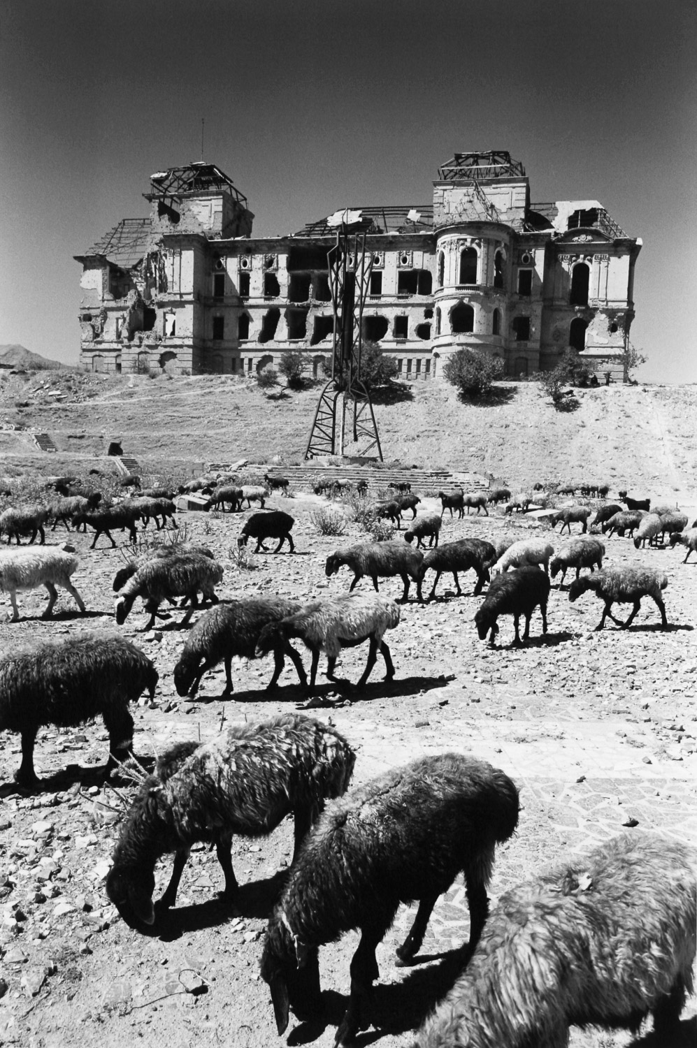 Sheep, King's Palace