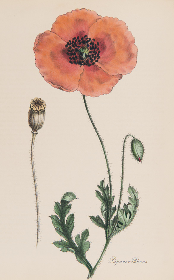 Papaver rhoeas from M.A. Burnett's 'Plantae utiliores; or Illustrations of Useful Plants, employed in the Arts and Medicine', 1842