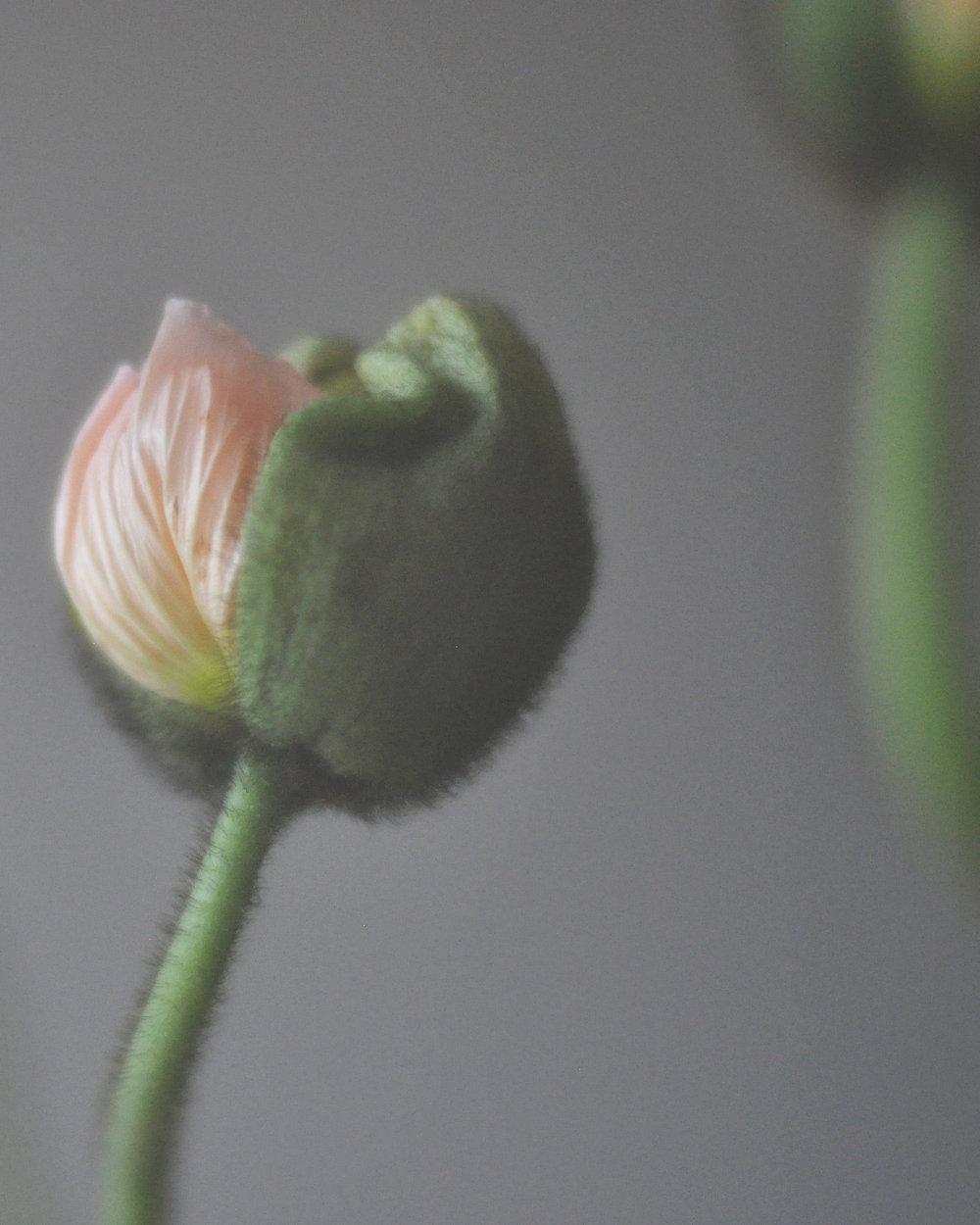 poppypods2_12.jpg