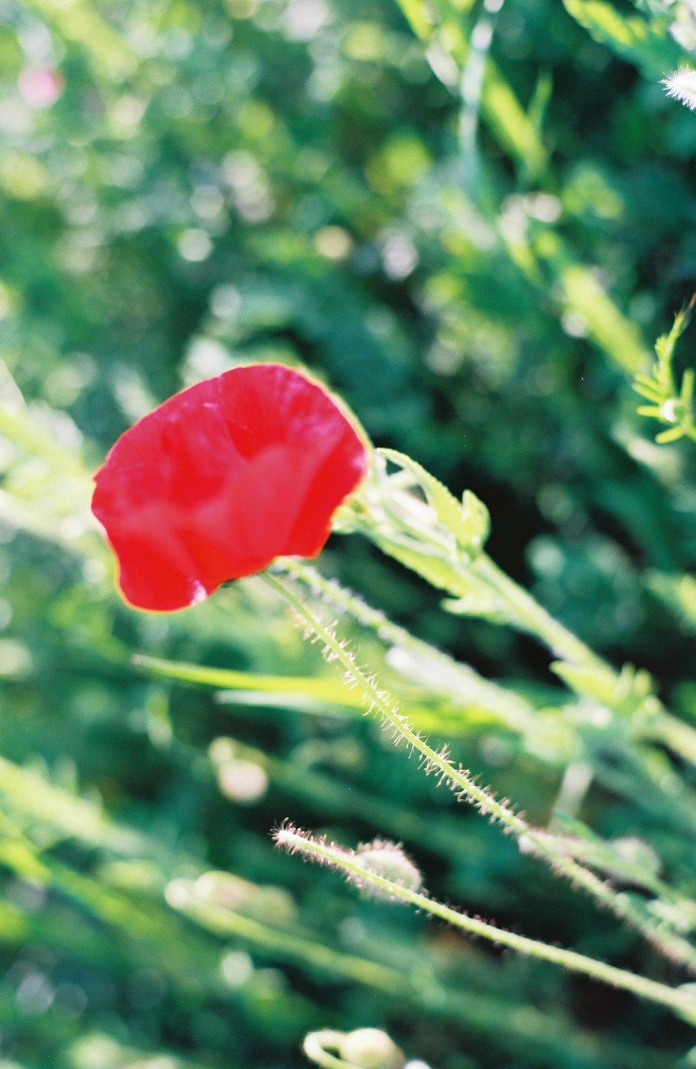 Poppy_9.JPG
