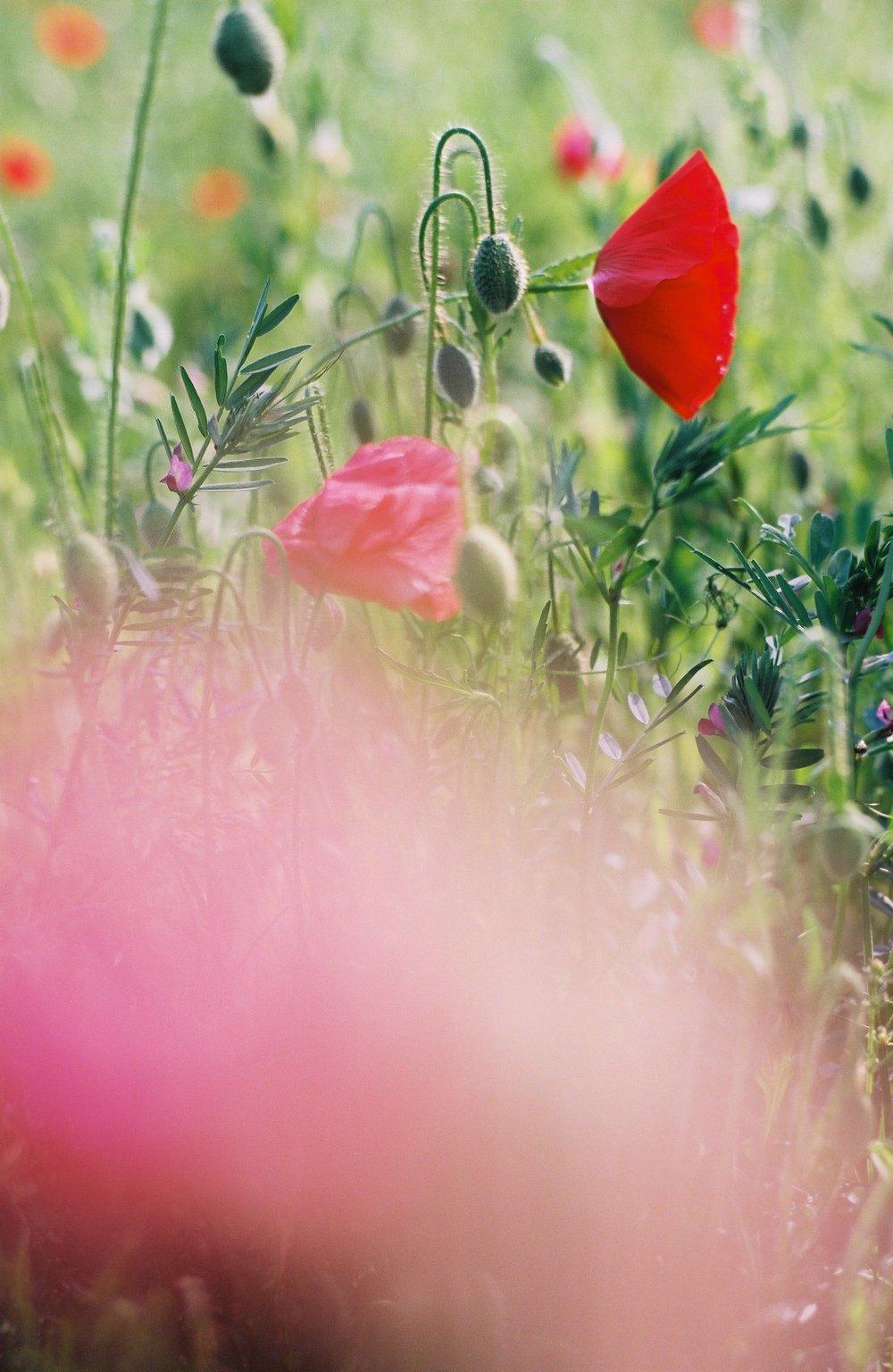 Poppy_11.JPG