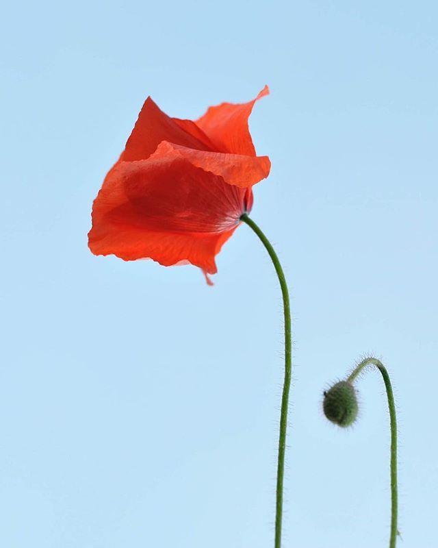 wild poppy. #futurefossilflora